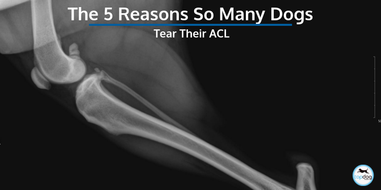 The 5 Reasons So Many Dogs Tear Their ACL