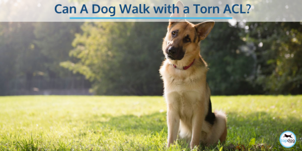 Can a dog walk with a torn acl