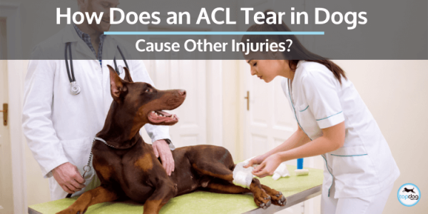 How does an acl injury in dogs causes other issues