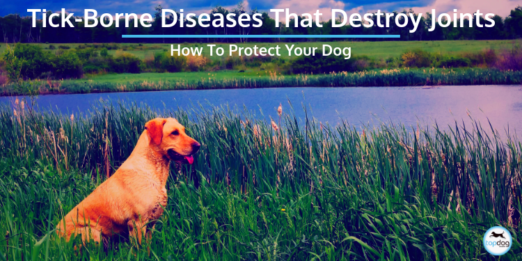 Tick-Borne Diseases That Destroy Joints: How to Protect Your Dog