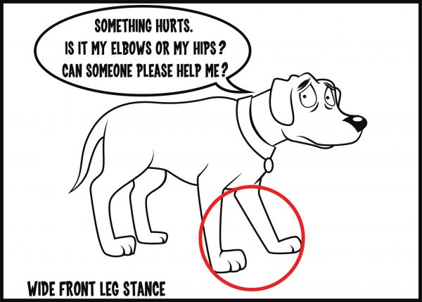 wide front leg stance is a sign of arthritis in dogs