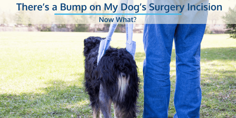 There's a Bump on My Dog's Surgery Incision… Now What?