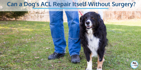 Can a Dog's ACL Repair Itself Without Surgery