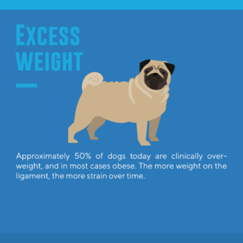 Why so many dog tear acl excessive weight