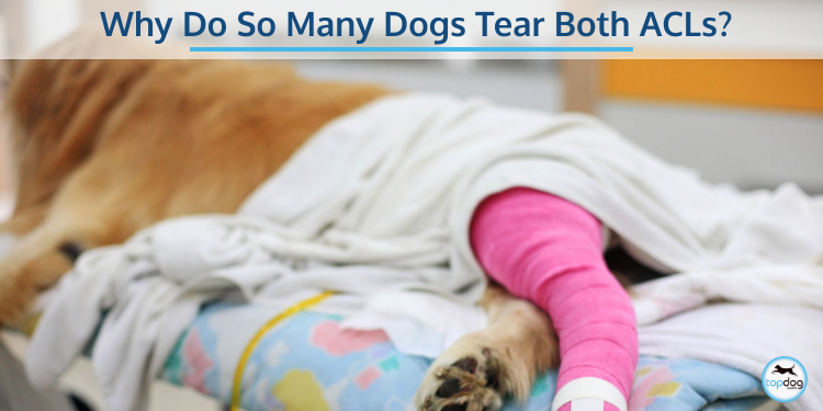 Why Do So Many Dogs Tear Both ACLs
